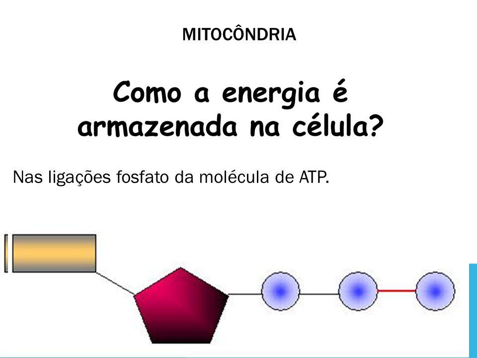 mitocôndria Nas ligações fosfato da molécula de ATP.
