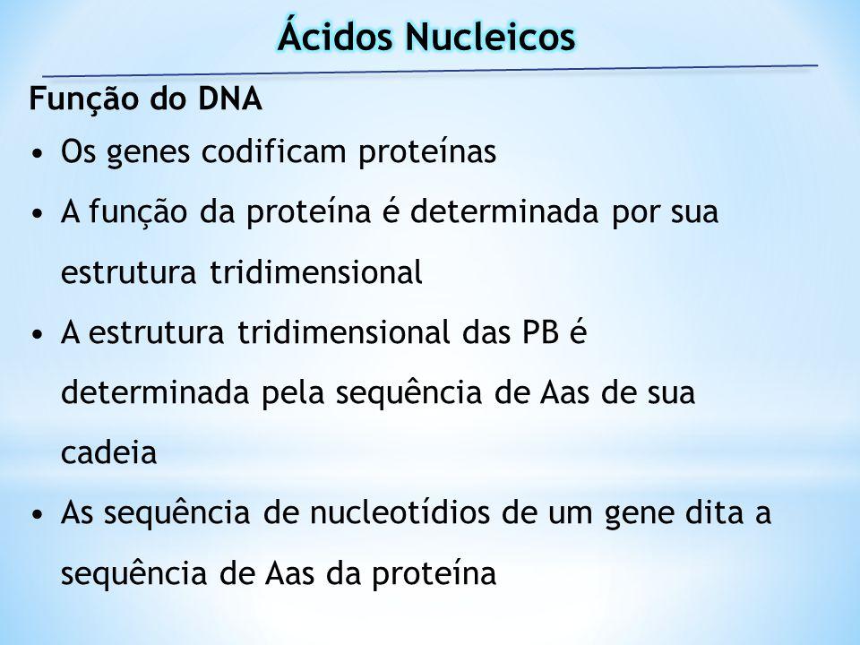 Ácidos Nucleicos Função do DNA Os genes codificam proteínas