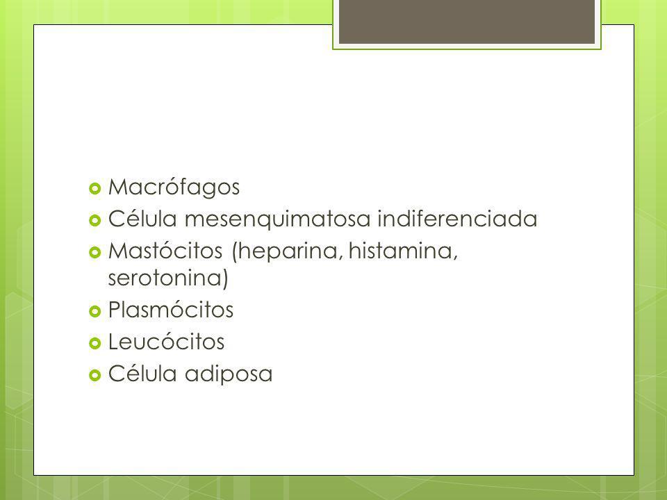 Macrófagos Célula mesenquimatosa indiferenciada. Mastócitos (heparina, histamina, serotonina) Plasmócitos.
