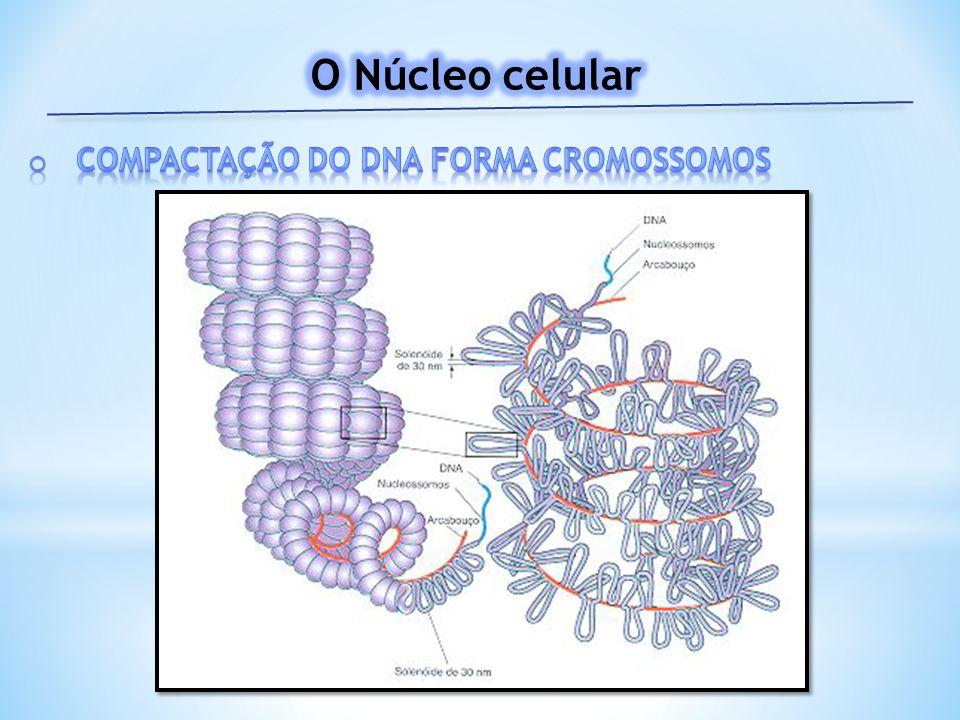 O Núcleo celular Compactação do DNA forma cromossomos