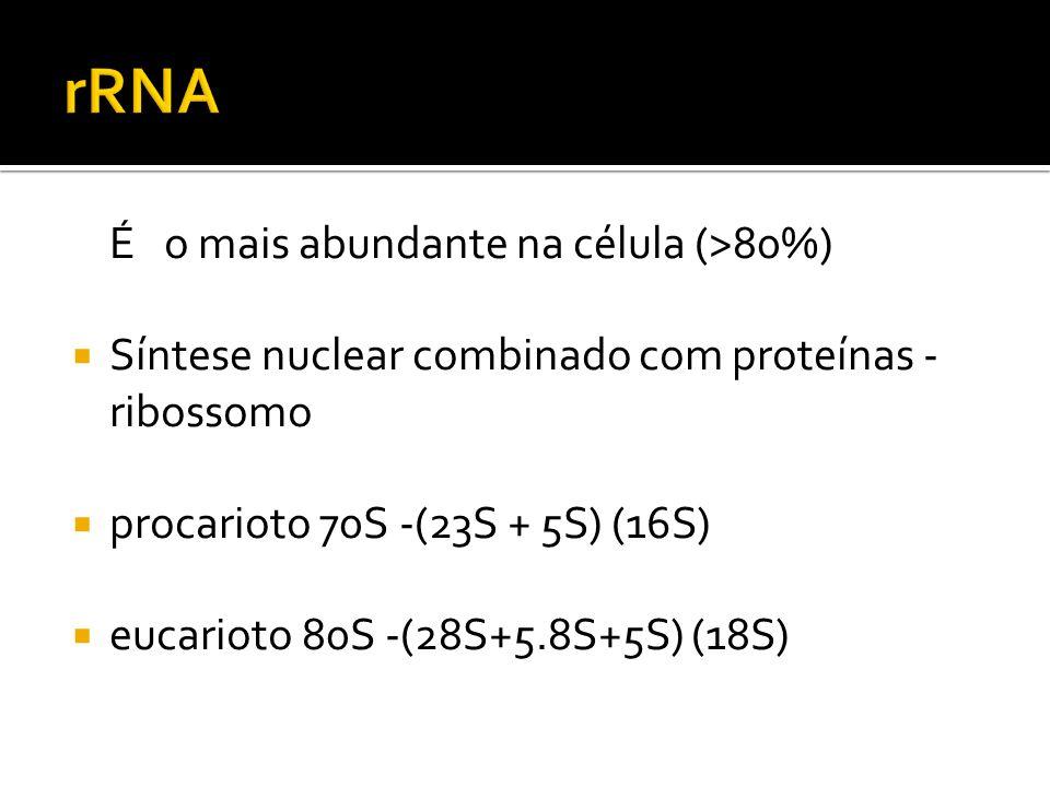 rRNA É o mais abundante na célula (>80%)