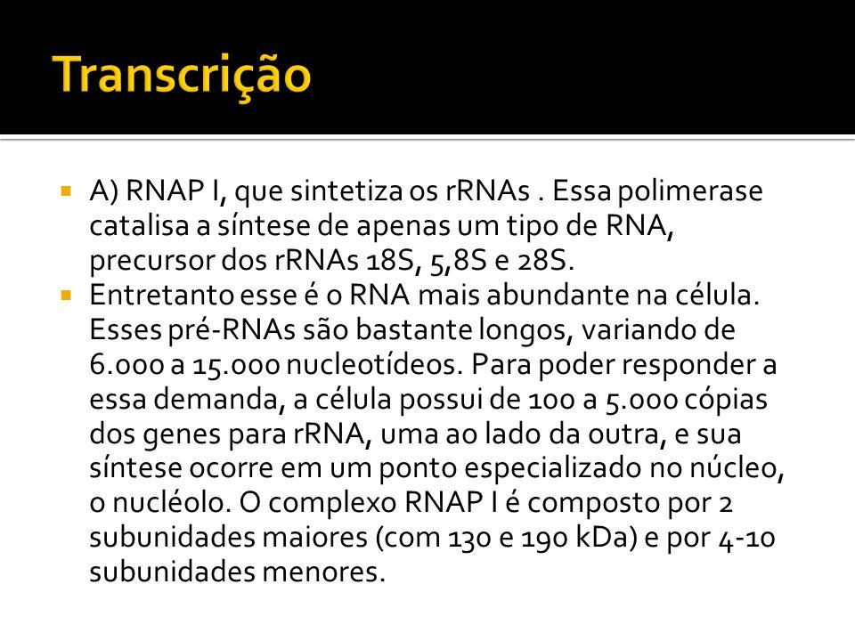 Transcrição A) RNAP I, que sintetiza os rRNAs . Essa polimerase catalisa a síntese de apenas um tipo de RNA, precursor dos rRNAs 18S, 5,8S e 28S.