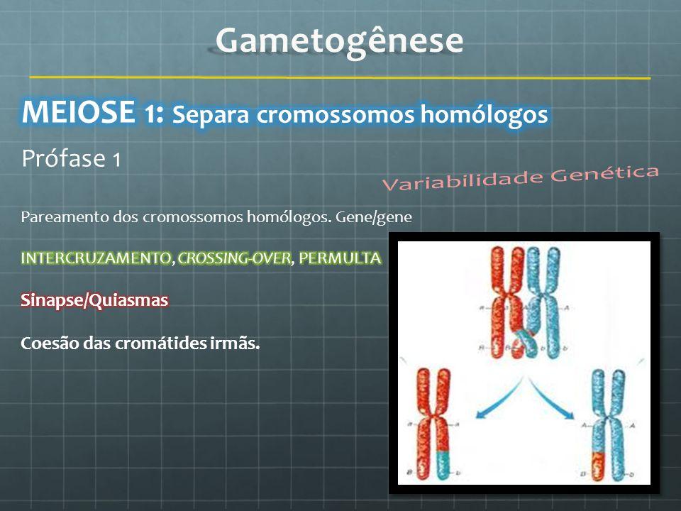 Gametogênese MEIOSE 1: Separa cromossomos homólogos Prófase 1