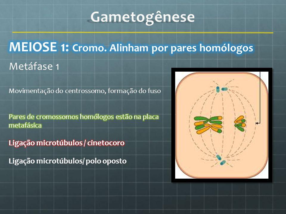 Gametogênese MEIOSE 1: Cromo. Alinham por pares homólogos Metáfase 1
