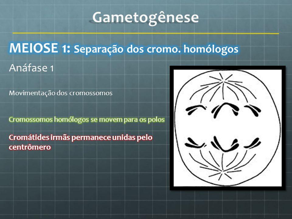 Gametogênese MEIOSE 1: Separação dos cromo. homólogos Anáfase 1