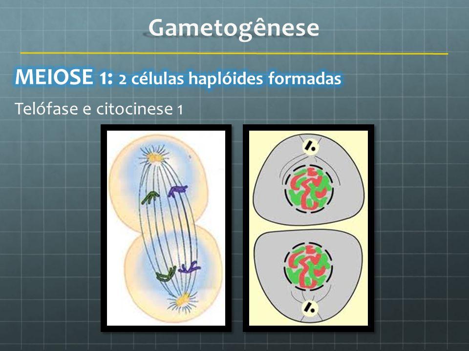 Gametogênese MEIOSE 1: 2 células haplóides formadas