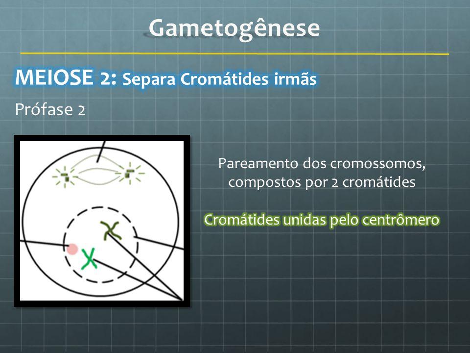 Gametogênese MEIOSE 2: Separa Cromátides irmãs Prófase 2