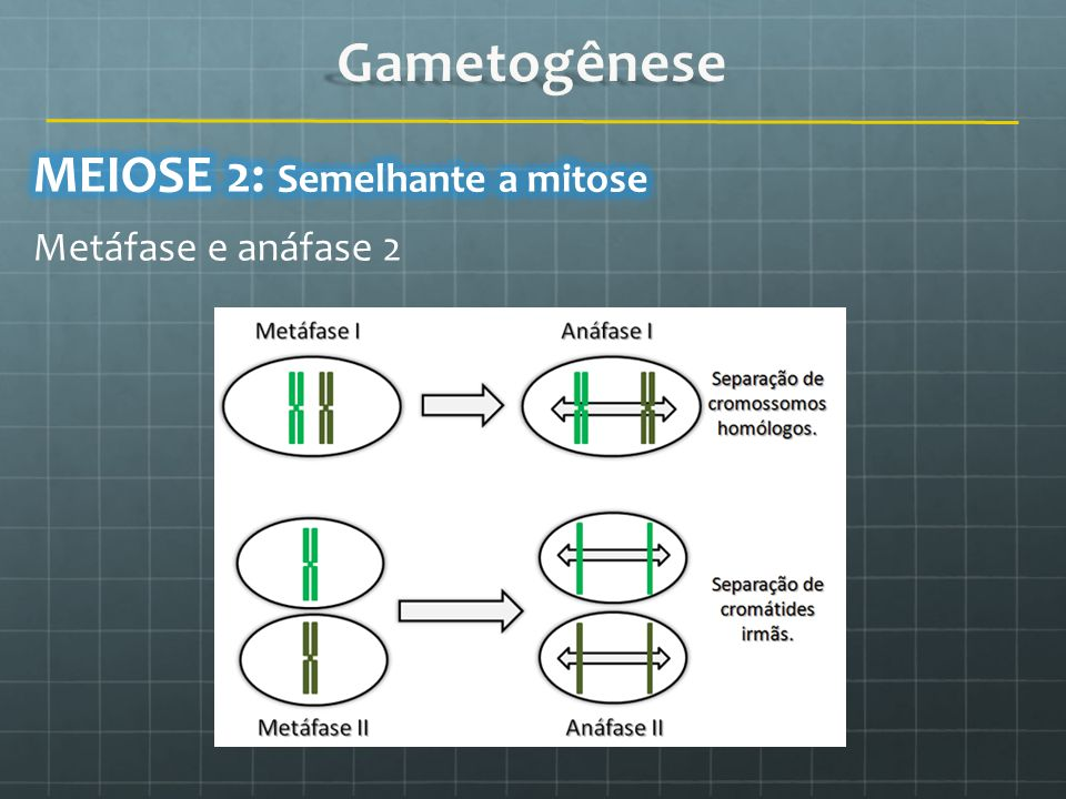 Gametogênese MEIOSE 2: Semelhante a mitose Metáfase e anáfase 2