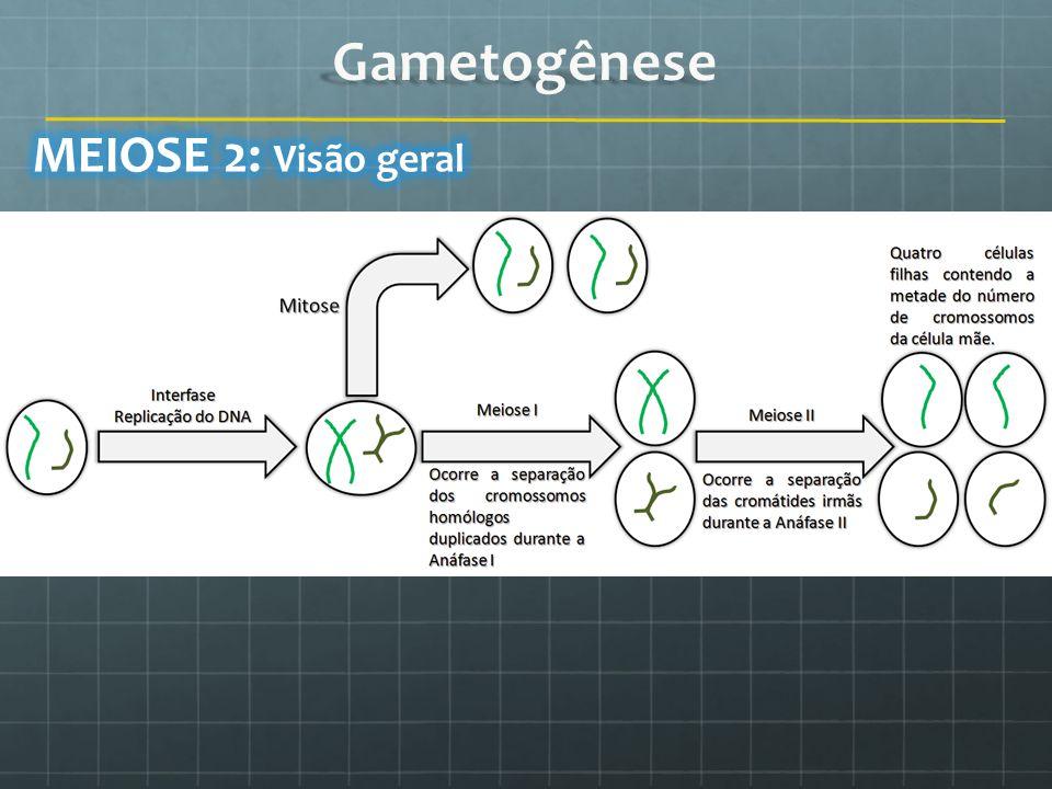 Gametogênese MEIOSE 2: Visão geral
