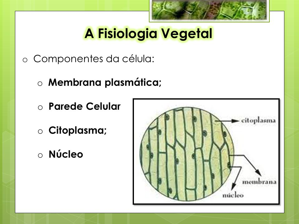 A Fisiologia Vegetal Componentes da célula: Membrana plasmática;