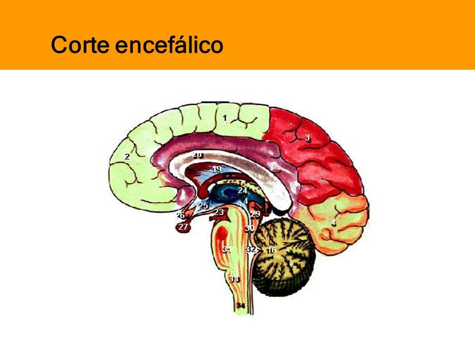 Corte encefálico