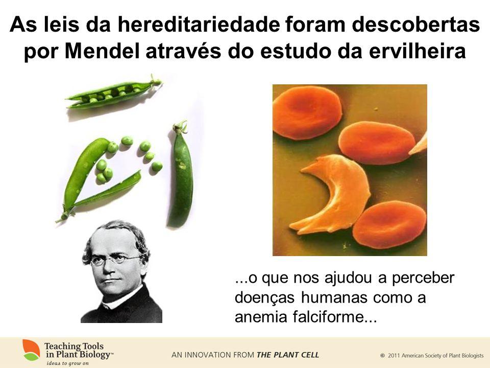 As leis da hereditariedade foram descobertas por Mendel através do estudo da ervilheira