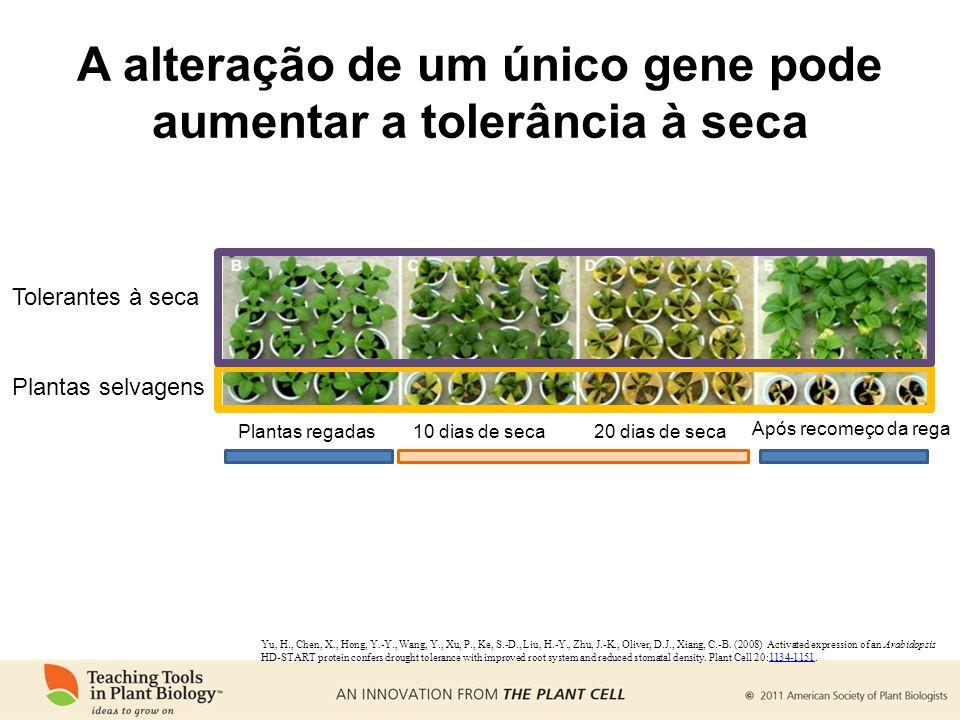A alteração de um único gene pode aumentar a tolerância à seca