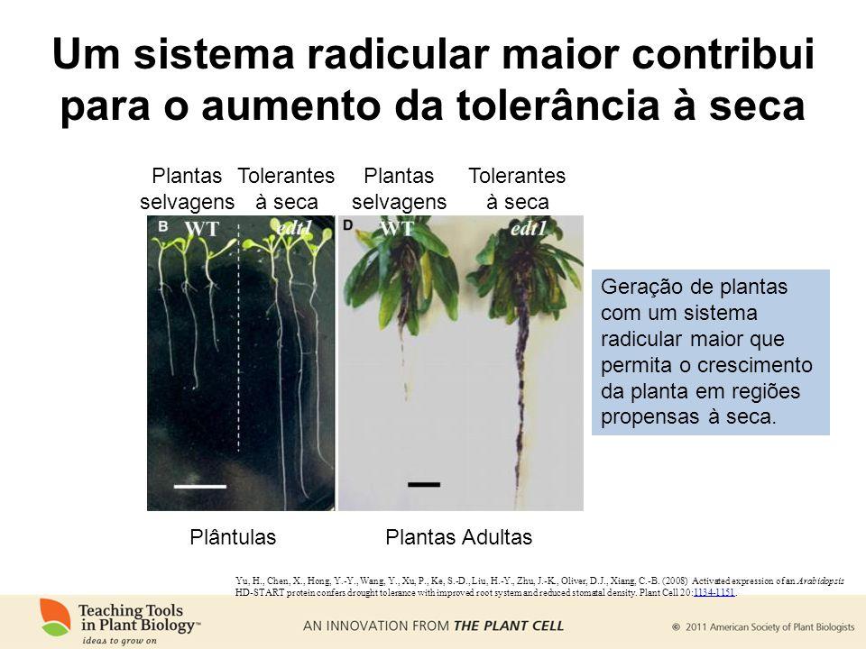 Um sistema radicular maior contribui para o aumento da tolerância à seca