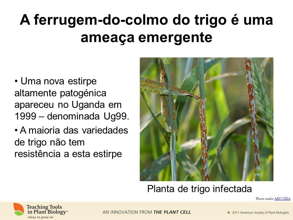 A ferrugem-do-colmo do trigo é uma ameaça emergente