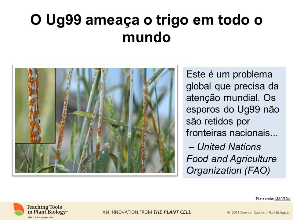 O Ug99 ameaça o trigo em todo o mundo