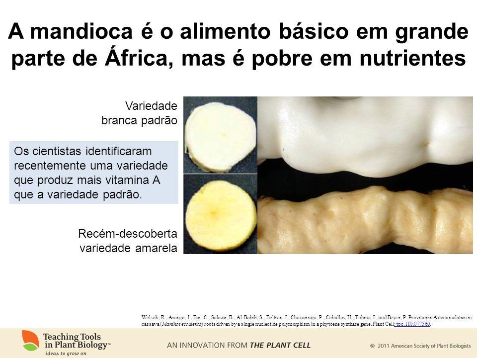 A mandioca é o alimento básico em grande parte de África, mas é pobre em nutrientes