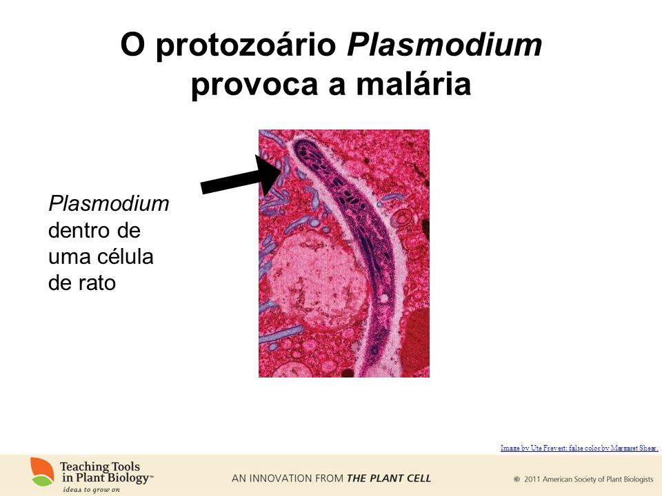 O protozoário Plasmodium provoca a malária