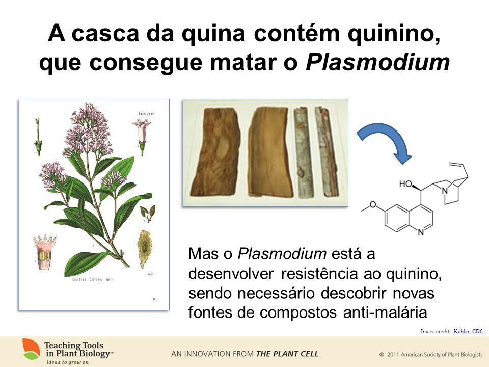 A casca da quina contém quinino, que consegue matar o Plasmodium