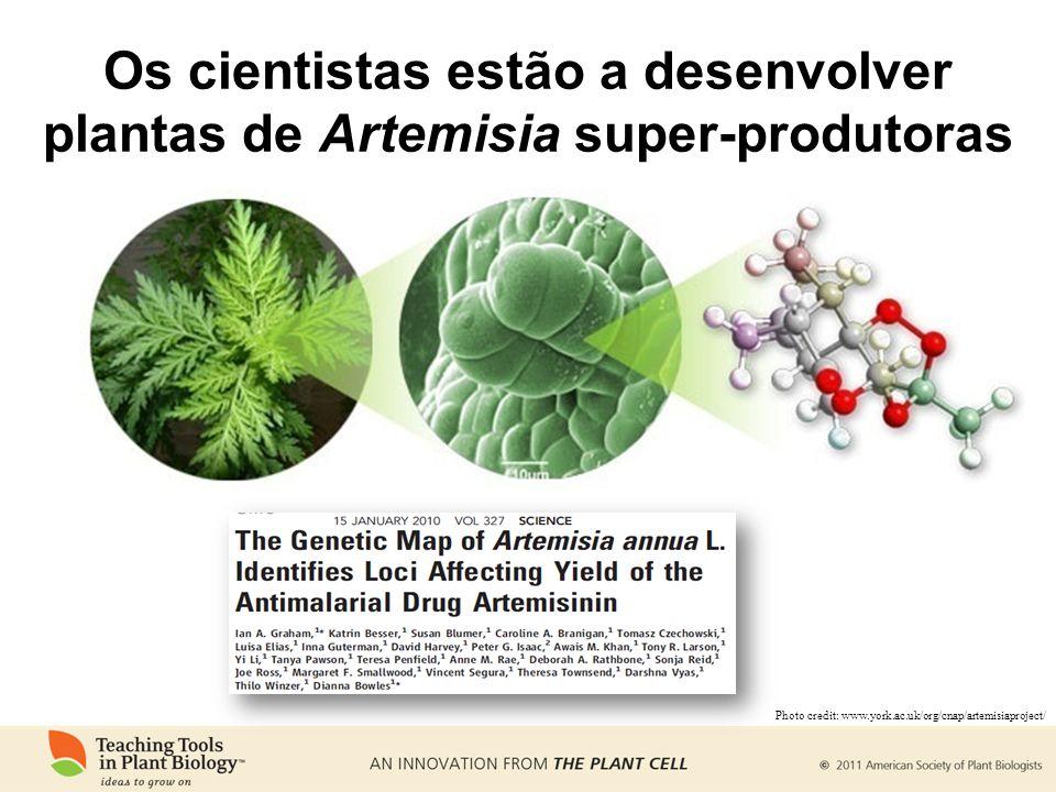 Os cientistas estão a desenvolver plantas de Artemisia super-produtoras