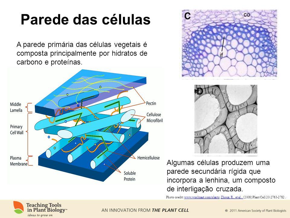 Parede das células A parede primária das células vegetais é composta principalmente por hidratos de carbono e proteínas.