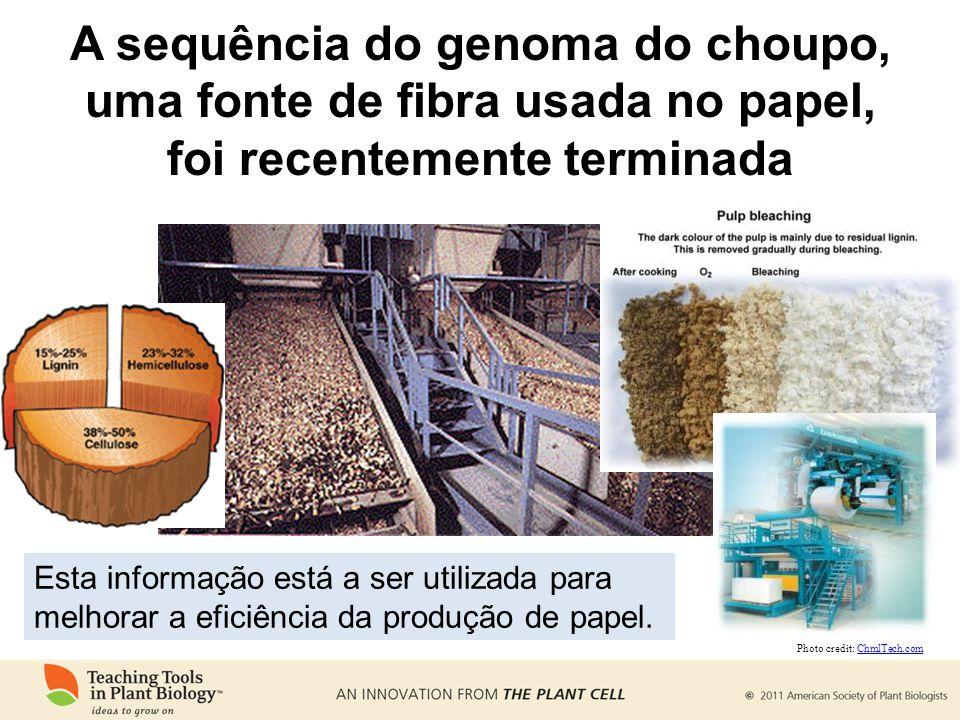 A sequência do genoma do choupo, uma fonte de fibra usada no papel, foi recentemente terminada