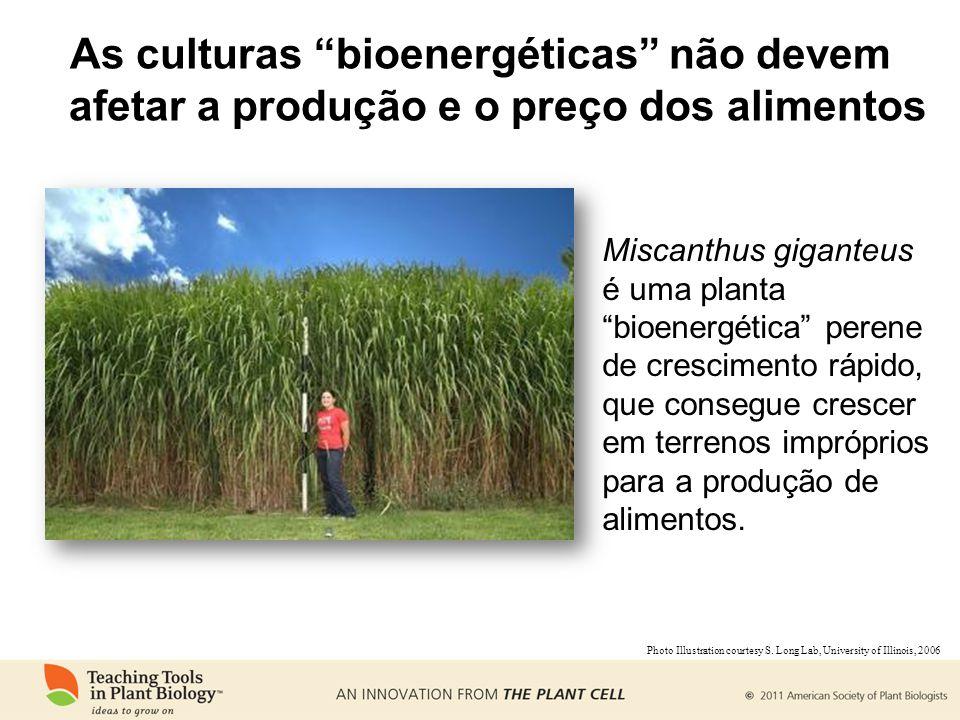 As culturas bioenergéticas não devem afetar a produção e o preço dos alimentos