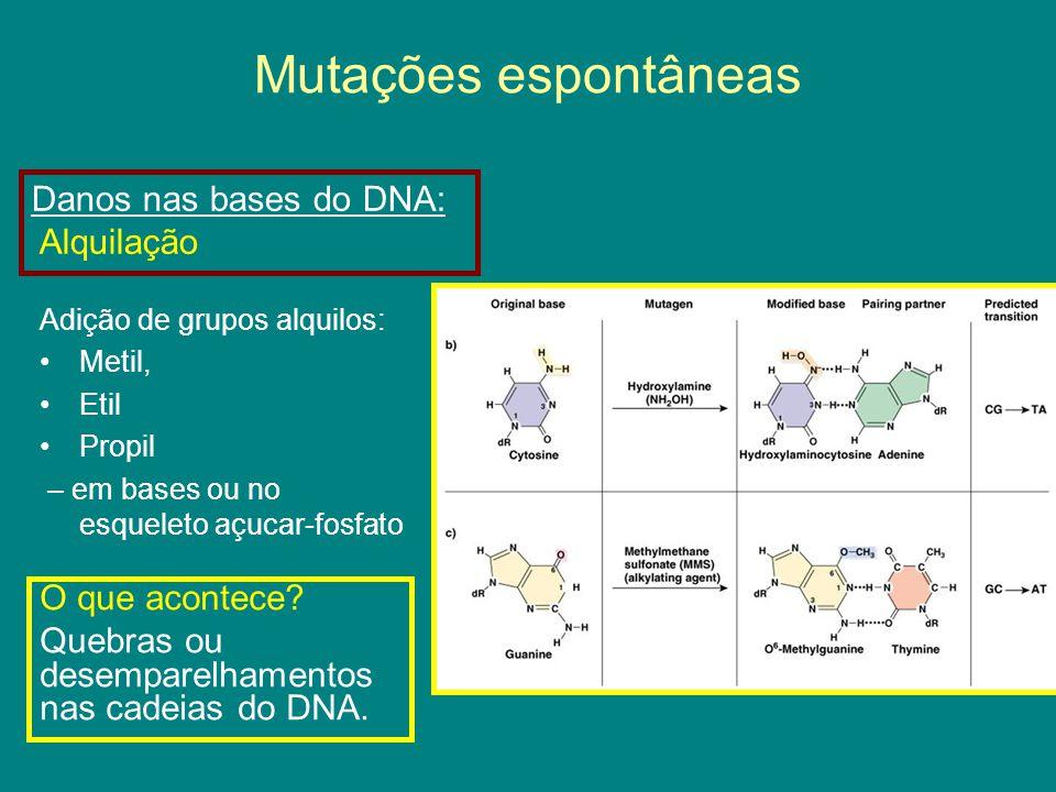 Mutações espontâneas Danos nas bases do DNA: Alquilação