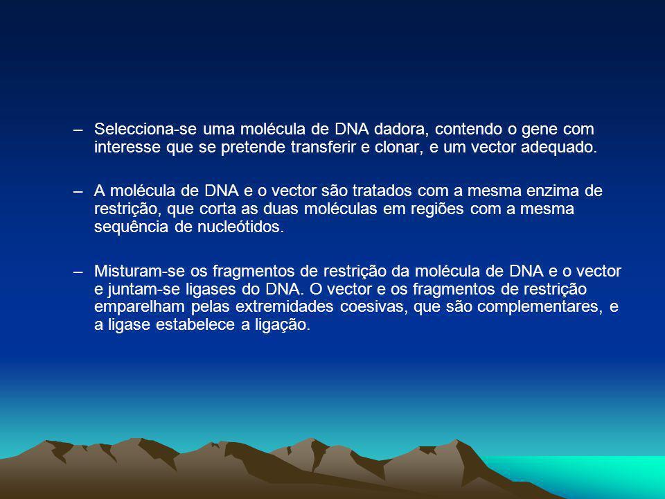 Selecciona-se uma molécula de DNA dadora, contendo o gene com interesse que se pretende transferir e clonar, e um vector adequado.