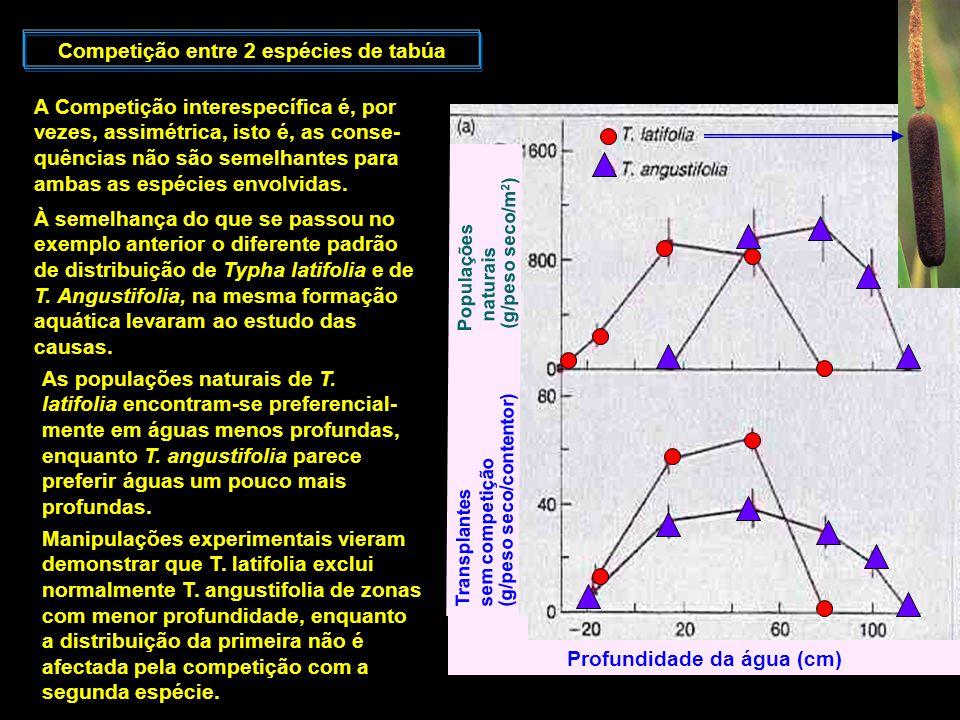 Competição entre 2 espécies de tabúa Profundidade da água (cm)