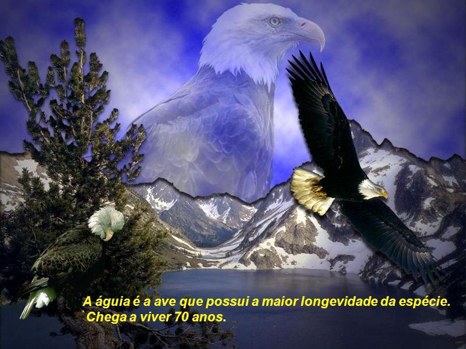 A águia é a ave que possui a maior longevidade da espécie.
