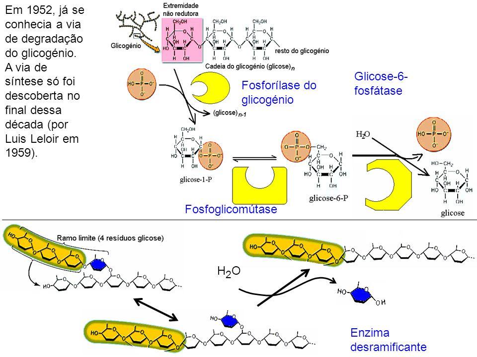 Em 1952, já se conhecia a via de degradação do glicogénio