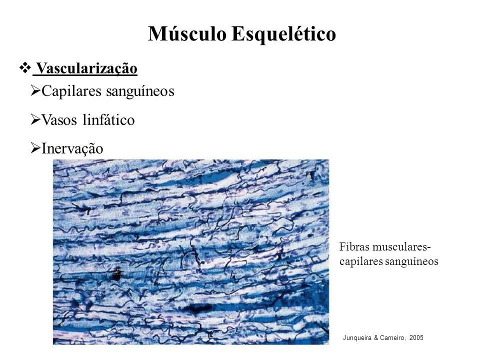 Músculo Esquelético Vascularização Capilares sanguíneos