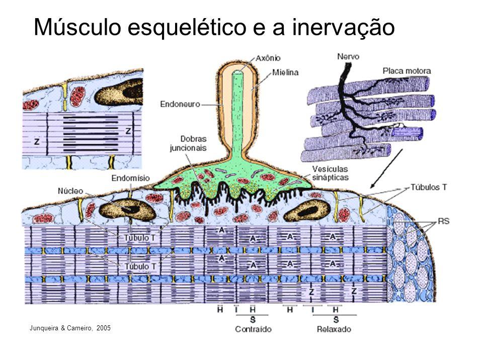 Músculo esquelético e a inervação