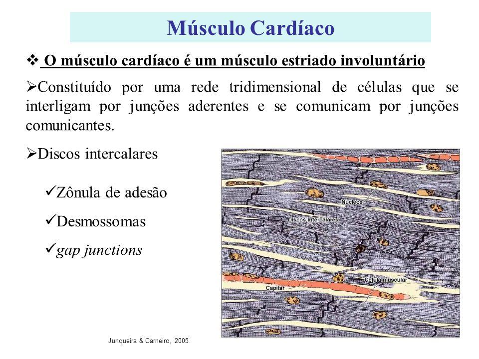 Músculo Cardíaco O músculo cardíaco é um músculo estriado involuntário
