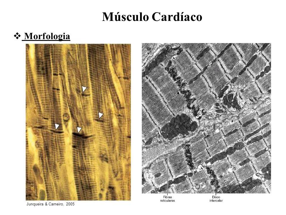 Músculo Cardíaco Morfologia Junqueira & Carneiro, 2005