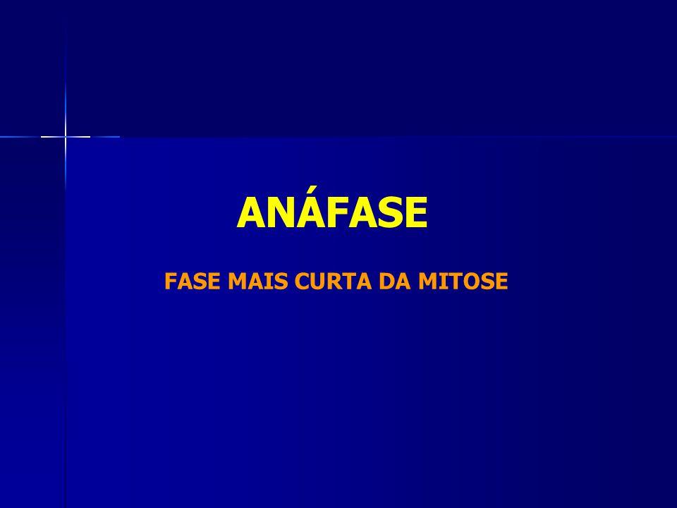 FASE MAIS CURTA DA MITOSE