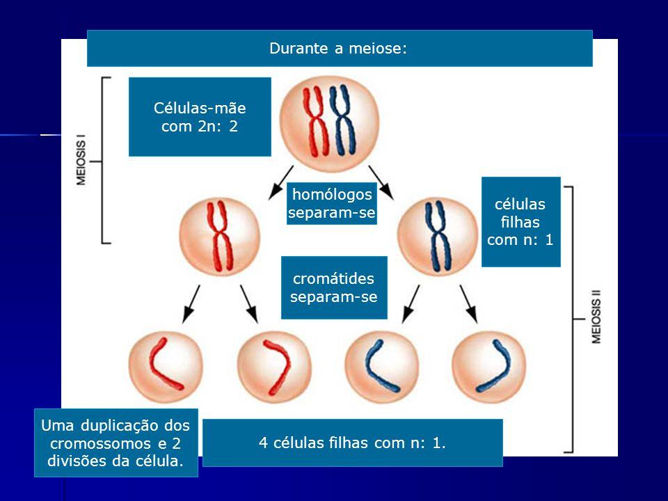 Durante a meiose: Células-mãe. com 2n: 2. células. filhas. com n: 1. homólogos. separam-se. cromátides.