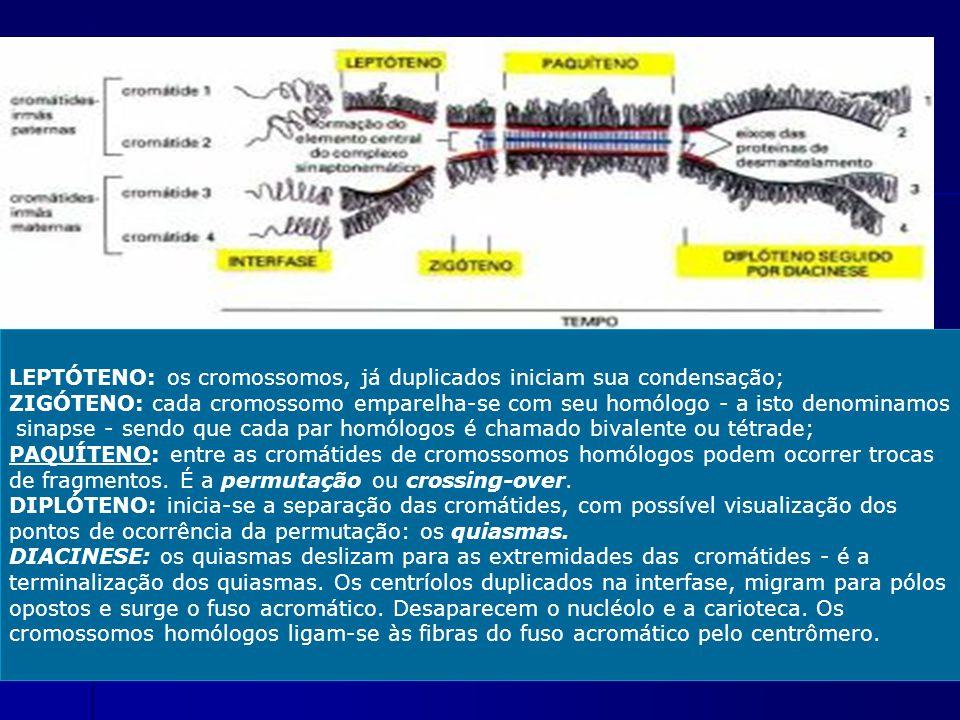 LEPTÓTENO: os cromossomos, já duplicados iniciam sua condensação;