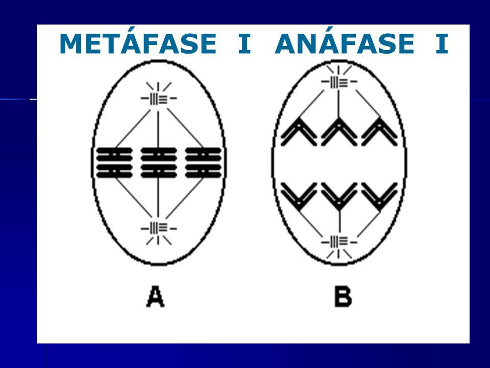 METÁFASE I ANÁFASE I