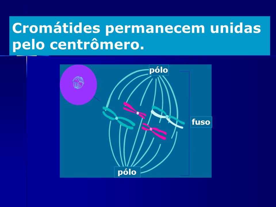 Cromátides permanecem unidas pelo centrômero.