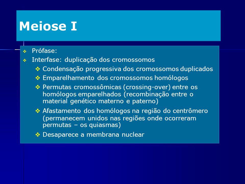 Meiose I Prófase: Interfase: duplicação dos cromossomos