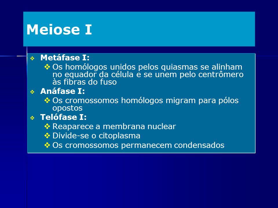 Meiose I Metáfase I: Os homólogos unidos pelos quiasmas se alinham no equador da célula e se unem pelo centrômero às fibras do fuso.