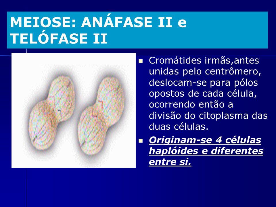 MEIOSE: ANÁFASE II e TELÓFASE II