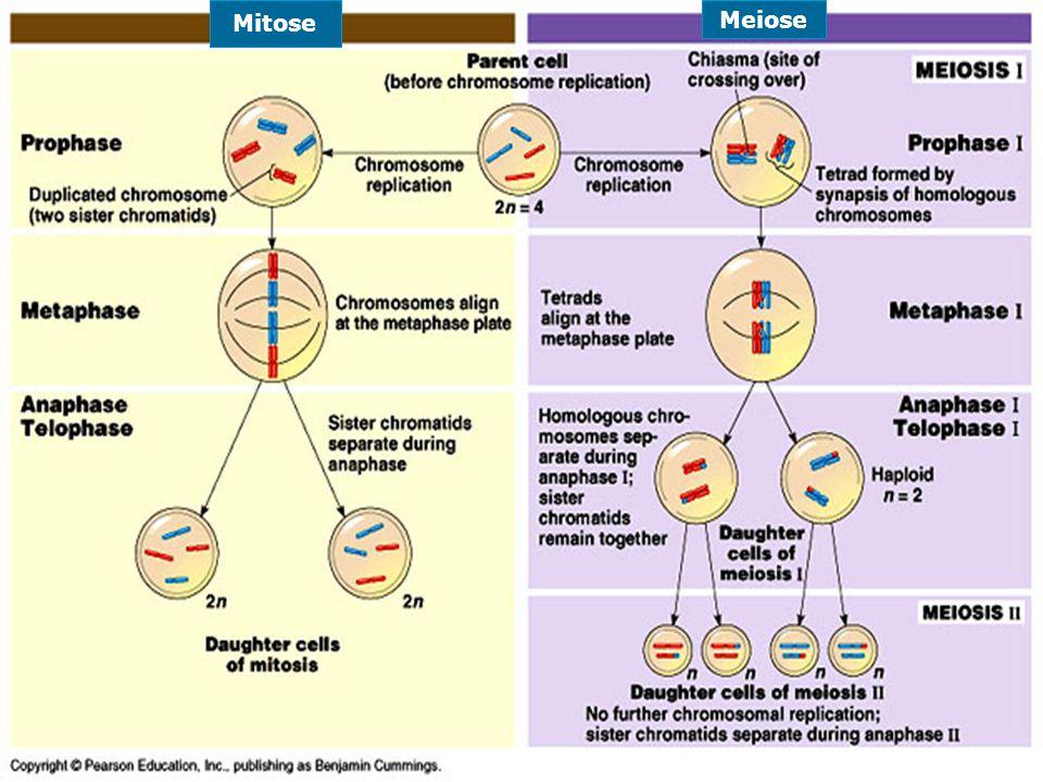 Mitose Meiose