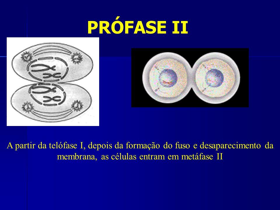 PRÓFASE II A partir da telófase I, depois da formação do fuso e desaparecimento da membrana, as células entram em metáfase II.
