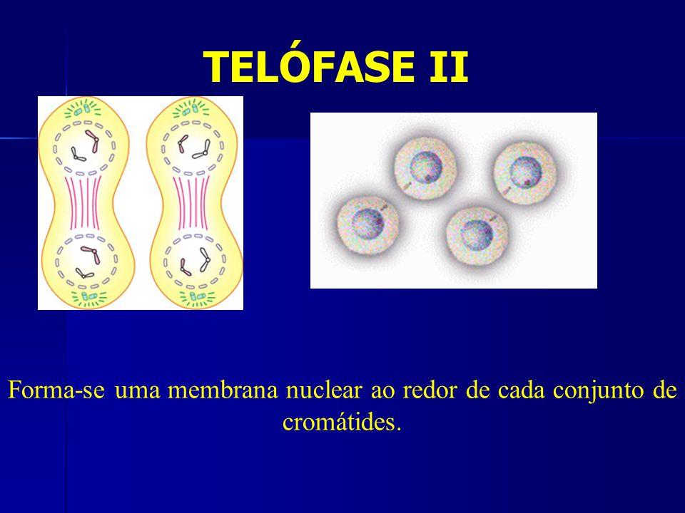 Forma-se uma membrana nuclear ao redor de cada conjunto de cromátides.