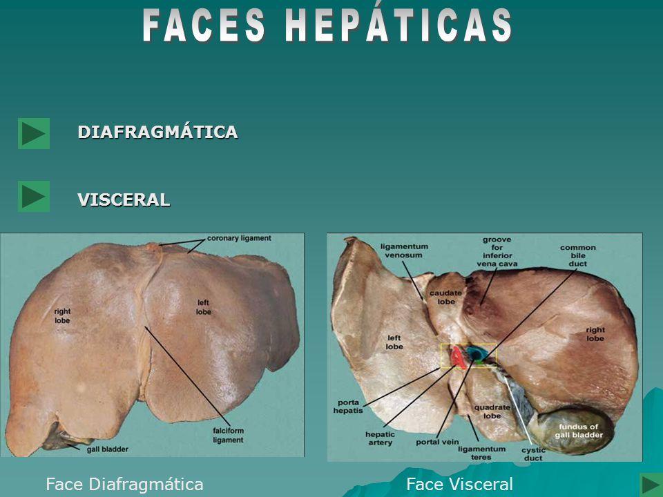 FACES HEPÁTICAS DIAFRAGMÁTICA VISCERAL Face Diafragmática