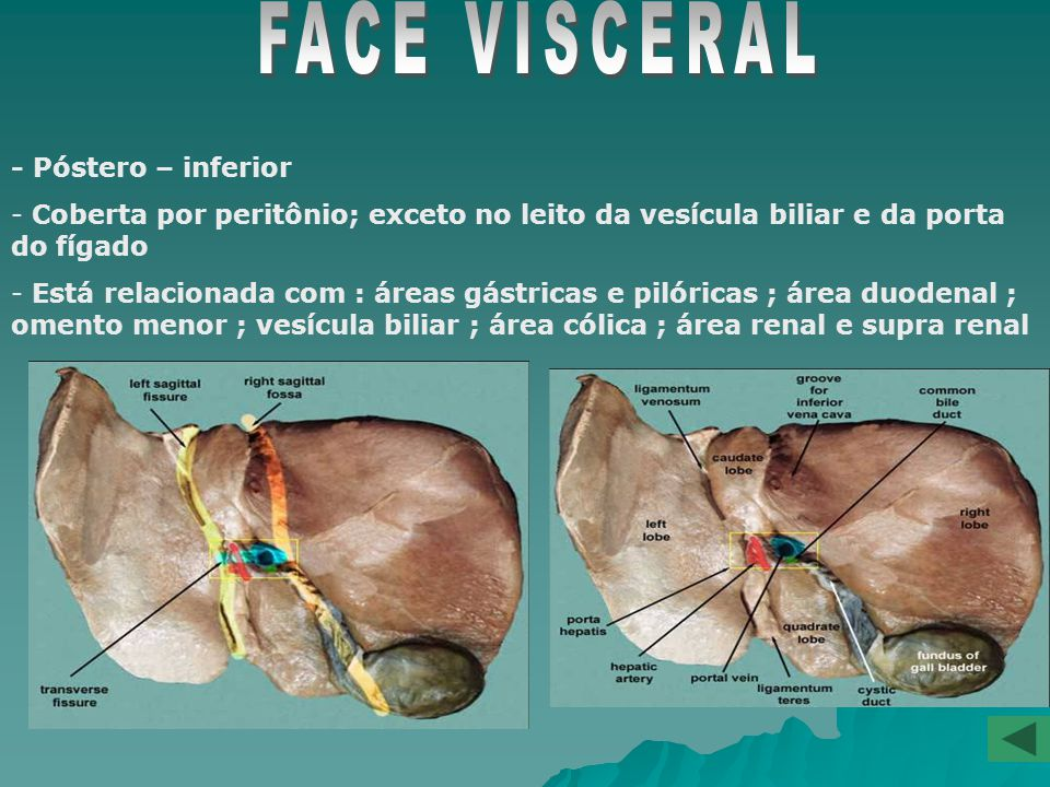 FACE VISCERAL - Póstero – inferior