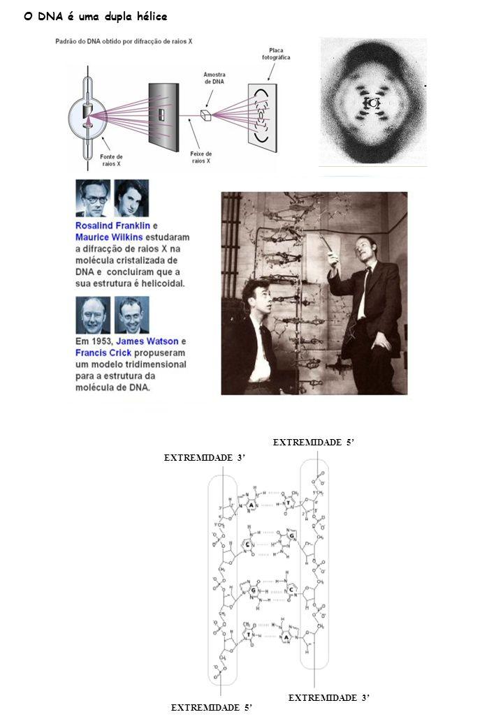 O DNA é uma dupla hélice EXTREMIDADE 5' EXTREMIDADE 3'